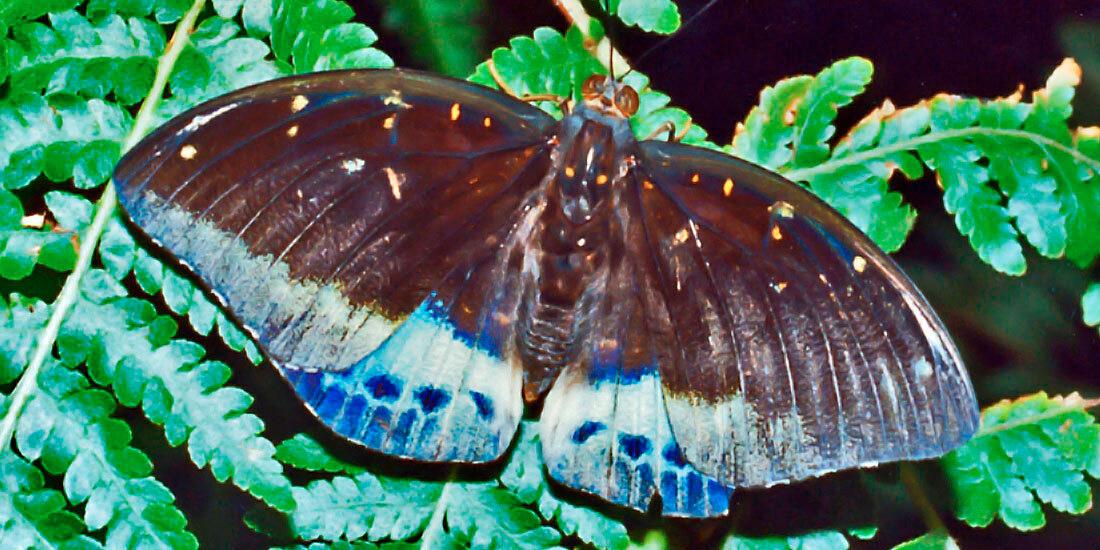 mariposa mitad macho mitad hembra