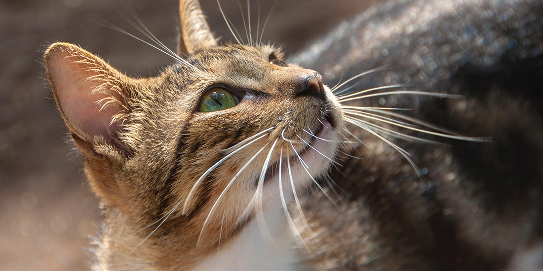 misterios de los bigotes de los gatos
