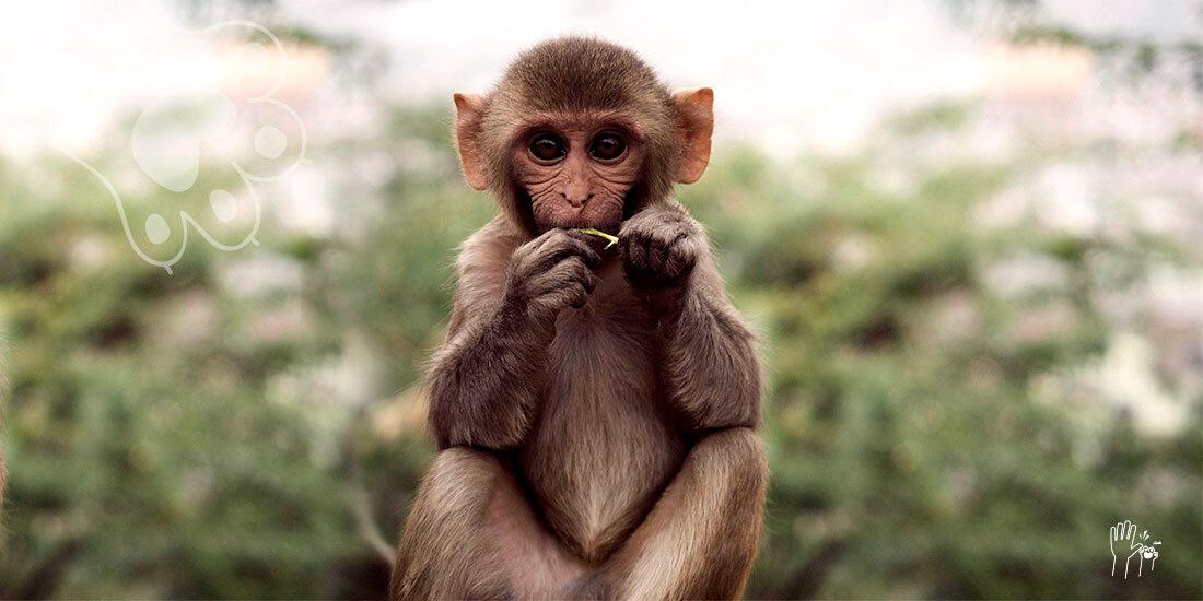 monos desarrollaron inmunidad a covid19