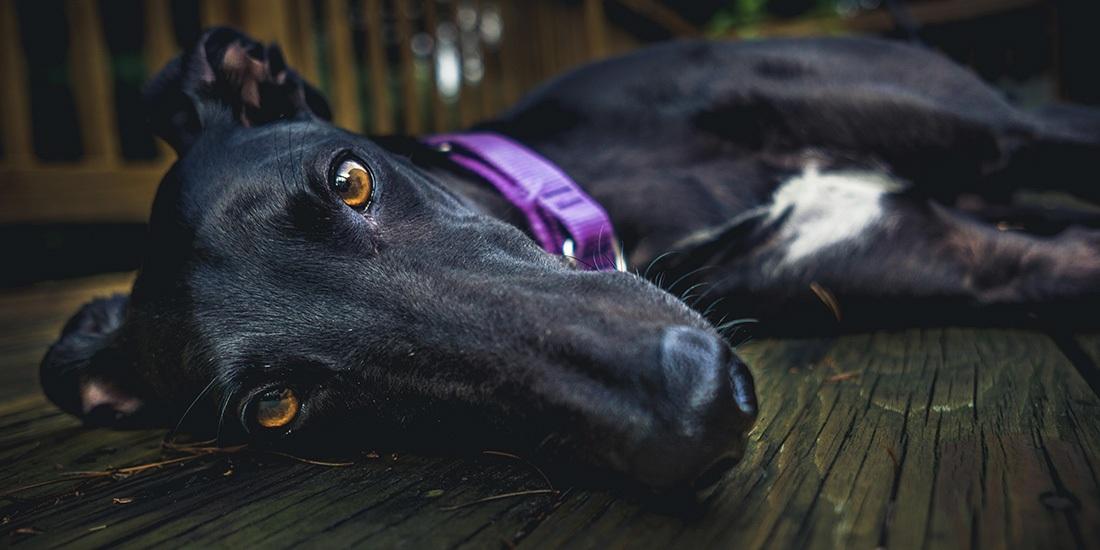 raza de perros más veloz del mundo