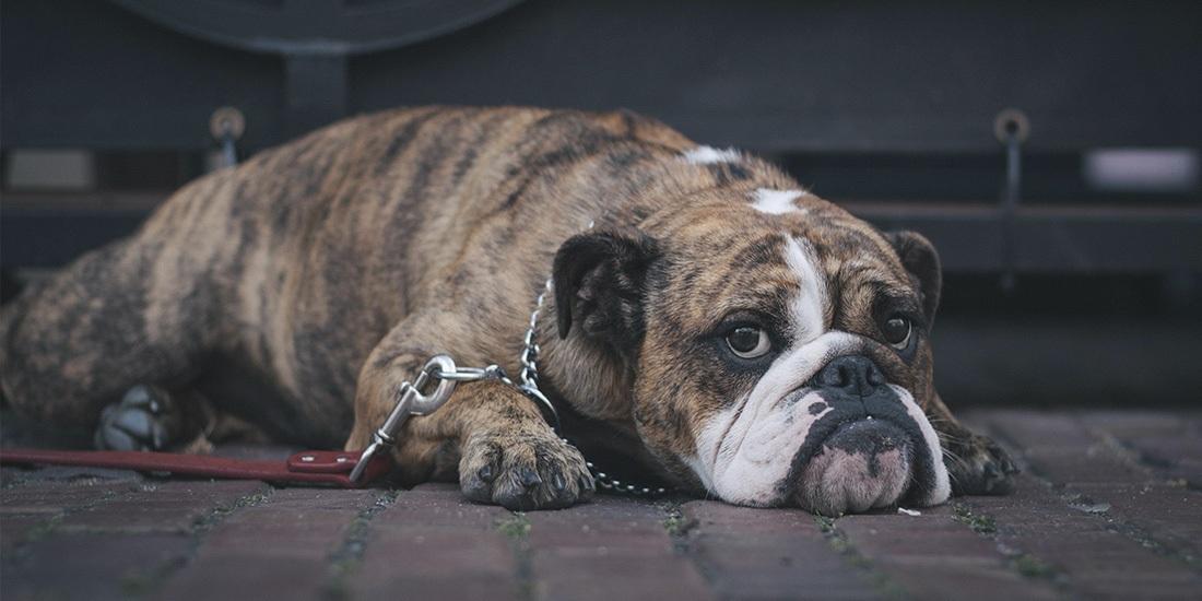 terapia psicológica para perros ¿de qué se trata?