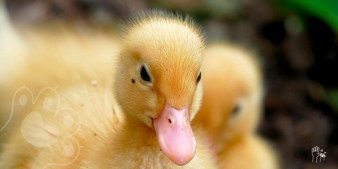 mujer incuba huevos de pato y nacen tres