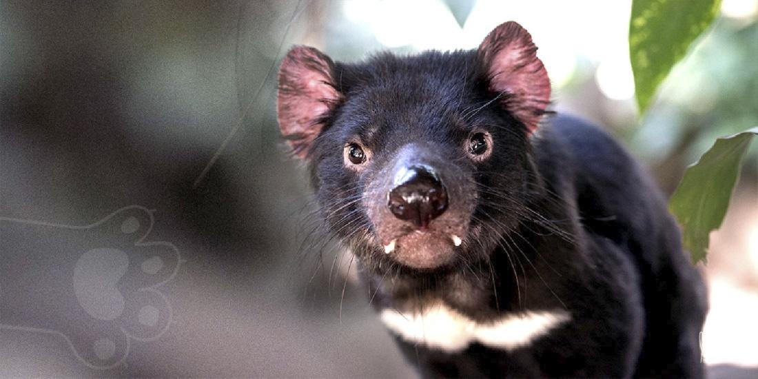 nacen demonios de tasmania