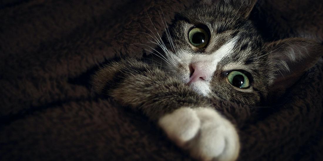 vacunas mas importantes para gatos