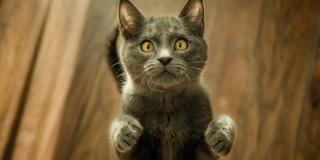 5 actitudes chistosas de los gatos