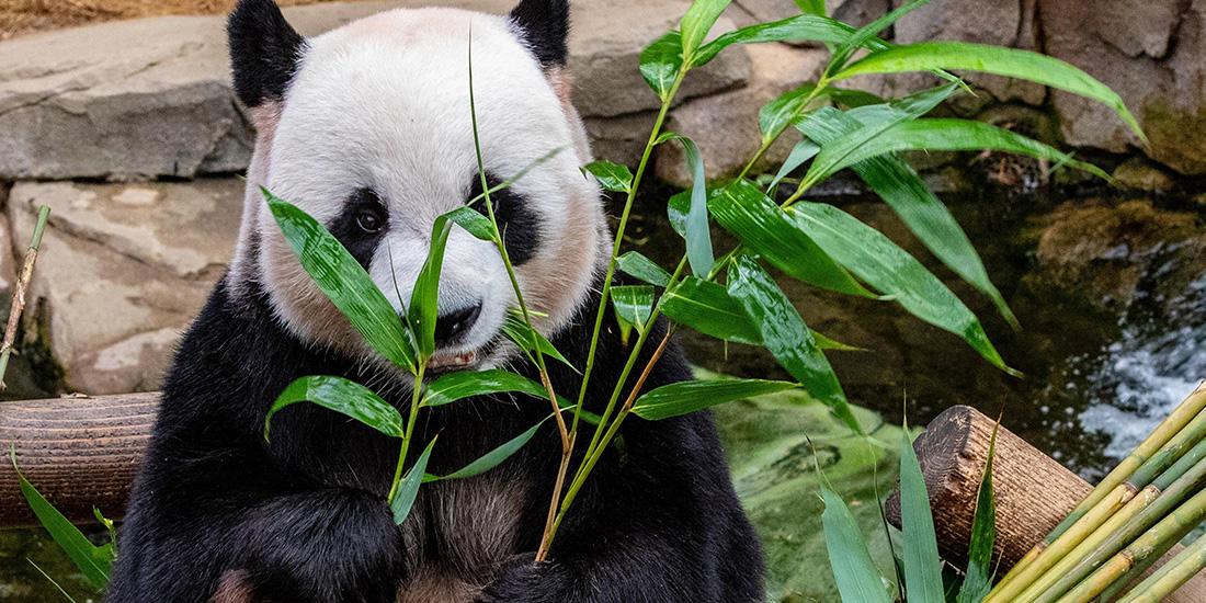 los pandas gigantes estan fuera de peligro de extincion