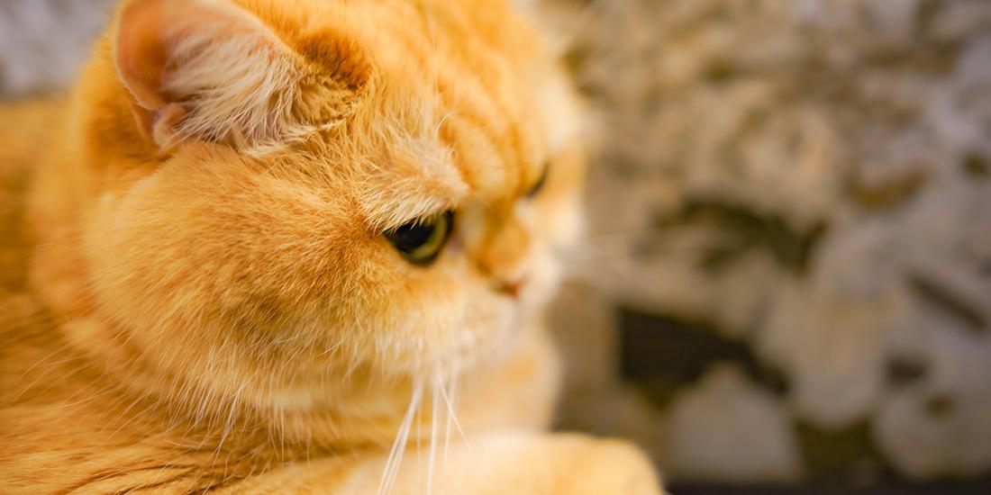 los 11 aminoácidos esenciales en gatos