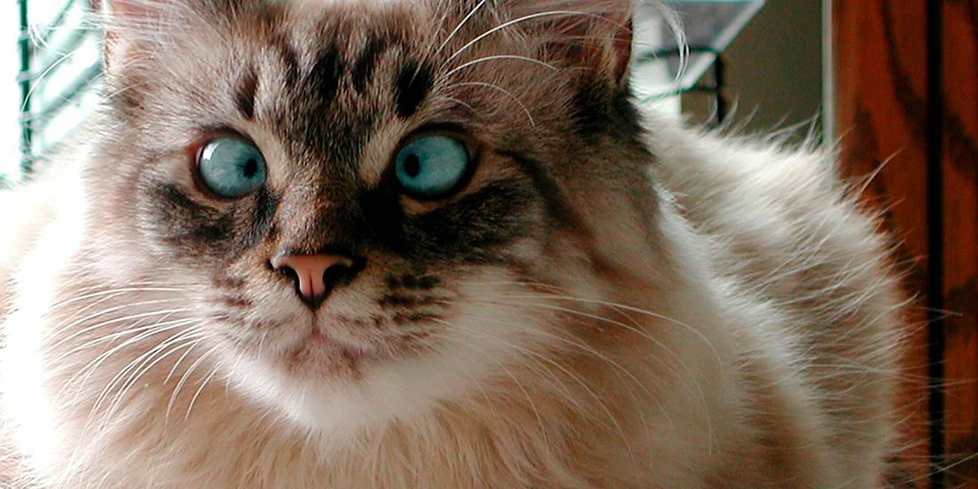 estrabismo en gatos